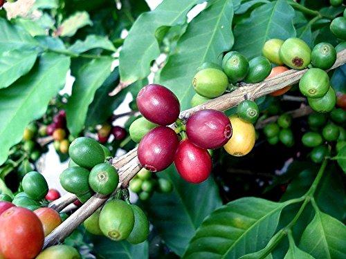 Arabica Coffee Bean Plant - 4' pot - Grow & Brew Your Own Coffee Beans