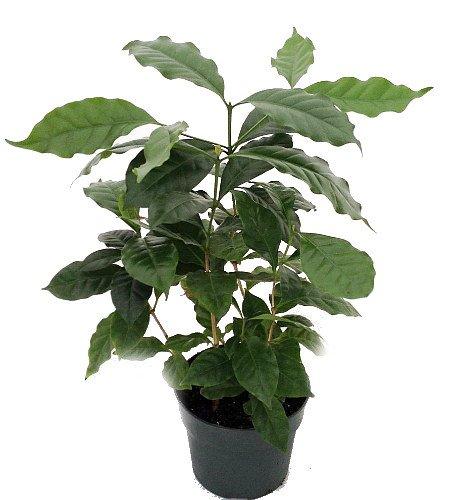 Hirt's Arabica Coffee Bean Plant - 6' Pot - Grow & Brew Your Own