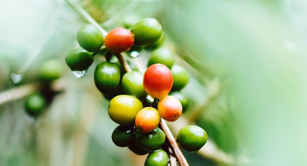 Arabica vs Robusta Coffee