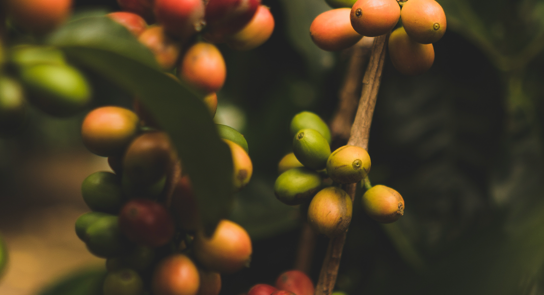 Best Coffee Brands from Kenya