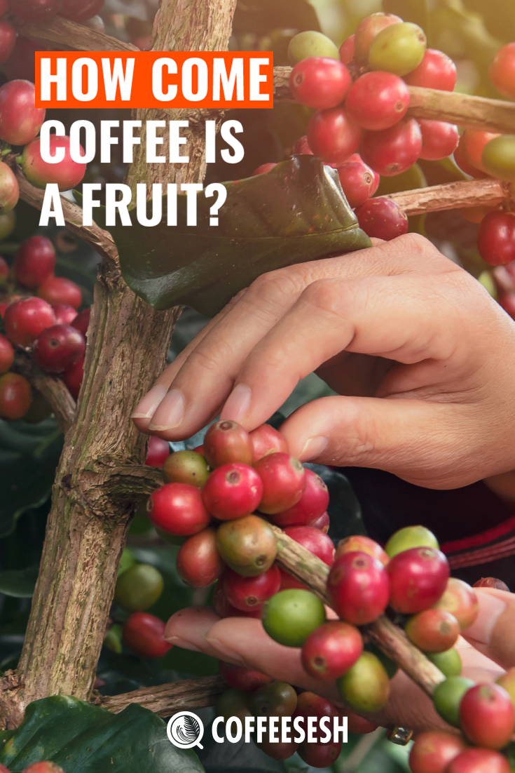 Coffee Fruit: How Come Coffee is a Fruit?