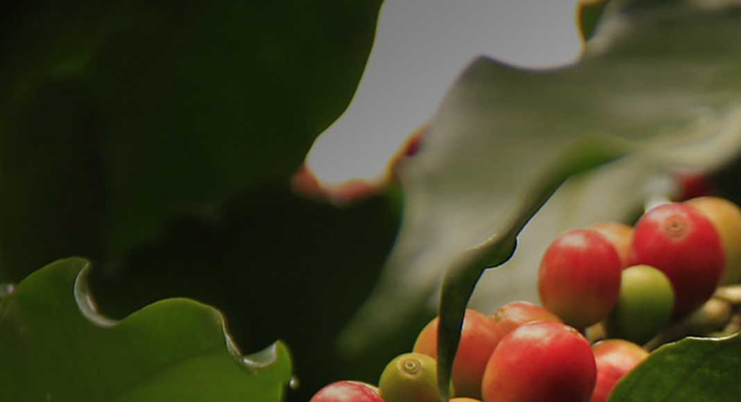 Everything You Always Wanted to Know About Coffee Plants