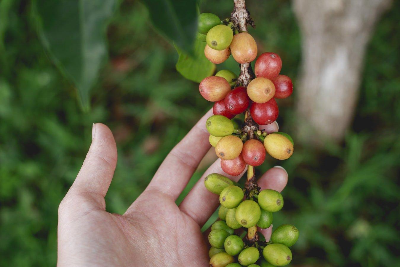 Best Hawaiian Kona Coffee Brands